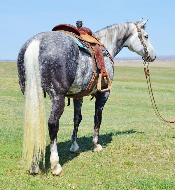 Grey Quarter Horse Gelding With Images Horses Quarter Horse