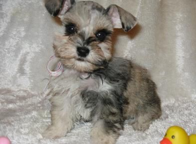 Merle Schnauzer Puppies For Sale 30 Minutes North Of Houston Tx Schnauzer Puppy Schnauzer Puppies And Kitties