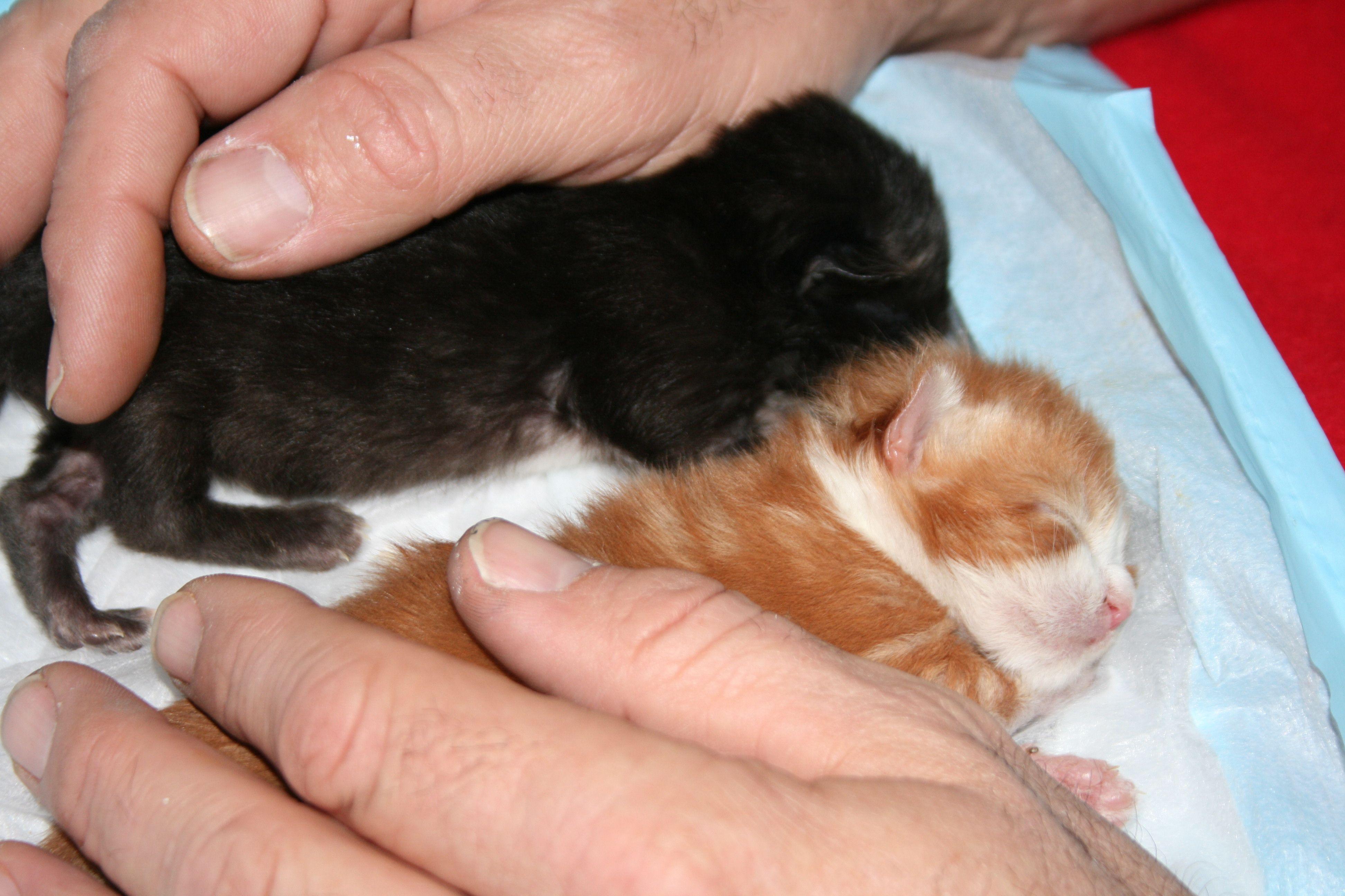 How To Care For Orphaned Kittens Newborn Kittens Kitten Care Foster Kittens