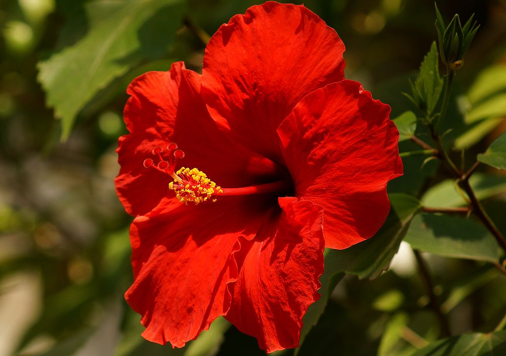 Hibiscus Bright Red Hibiscus Rosa Sinensis Bonsai Plants Flowers