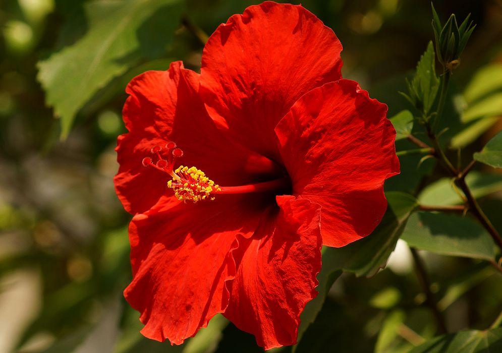 Hibiscus Bright Red Hibiscus Rosa Sinensis Bonsai Plants Flowers