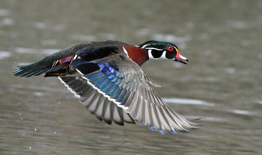 Wood Duck In Action By Mircea Costina Photography Wood Ducks Duck Wood