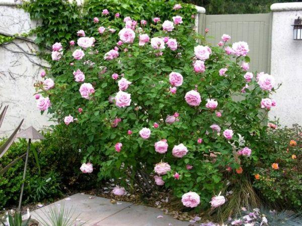 rosen schneiden rosenr ckschnitt im fr hling und im herbst blumen und pflanzen pinterest. Black Bedroom Furniture Sets. Home Design Ideas