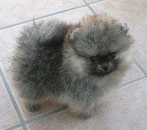 Pomeranian With Wolf-Spitz Markings Looks Like A Tiny