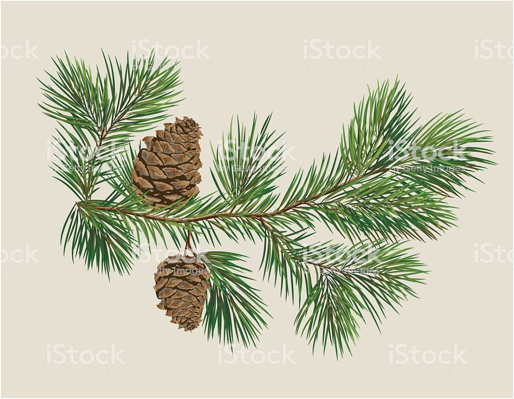Branch Of Christmas Tree With Pine Cones Pine Tree Art Christmas Tree Painting Pine Tree Painting