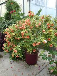 Abutilon Tiger Eye Google Search Plants I Have Garden Plants