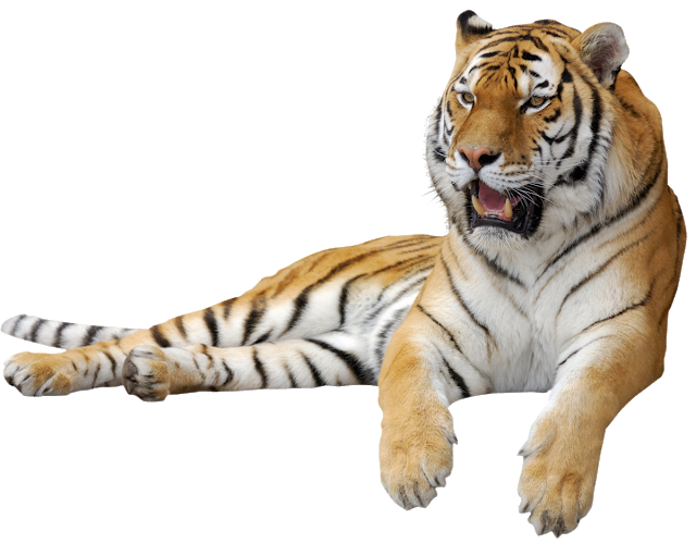 White Tiger Roaring And Roaring Elements Element Fierce Animal Png Transparent Clipart Image And Psd File For Free Download Cartoon Illustration Background Images Hd Tiger Logo