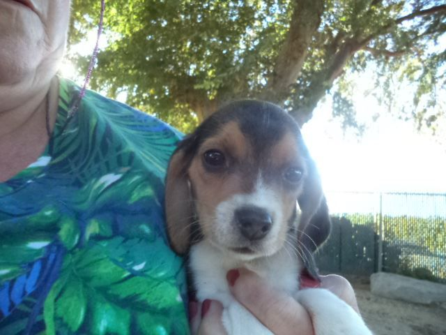 Litter Of 7 Beagle Puppies For Sale In Fresno Ca Adn 53970 On