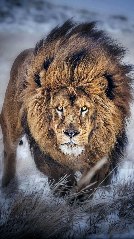 Beautifull picture of a Lion