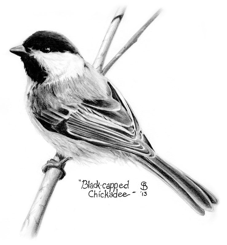 how to draw a chickadee step by step