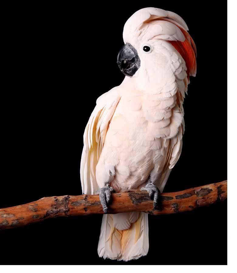 Moluccan Cockatoo Plumpton Park Zoo Cockatoo Pet Birds Parrot Wallpaper