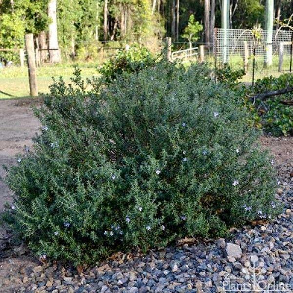 Westringia \'Wynyabbie Gem\' ...possibly this one | Garden-Plants in ...