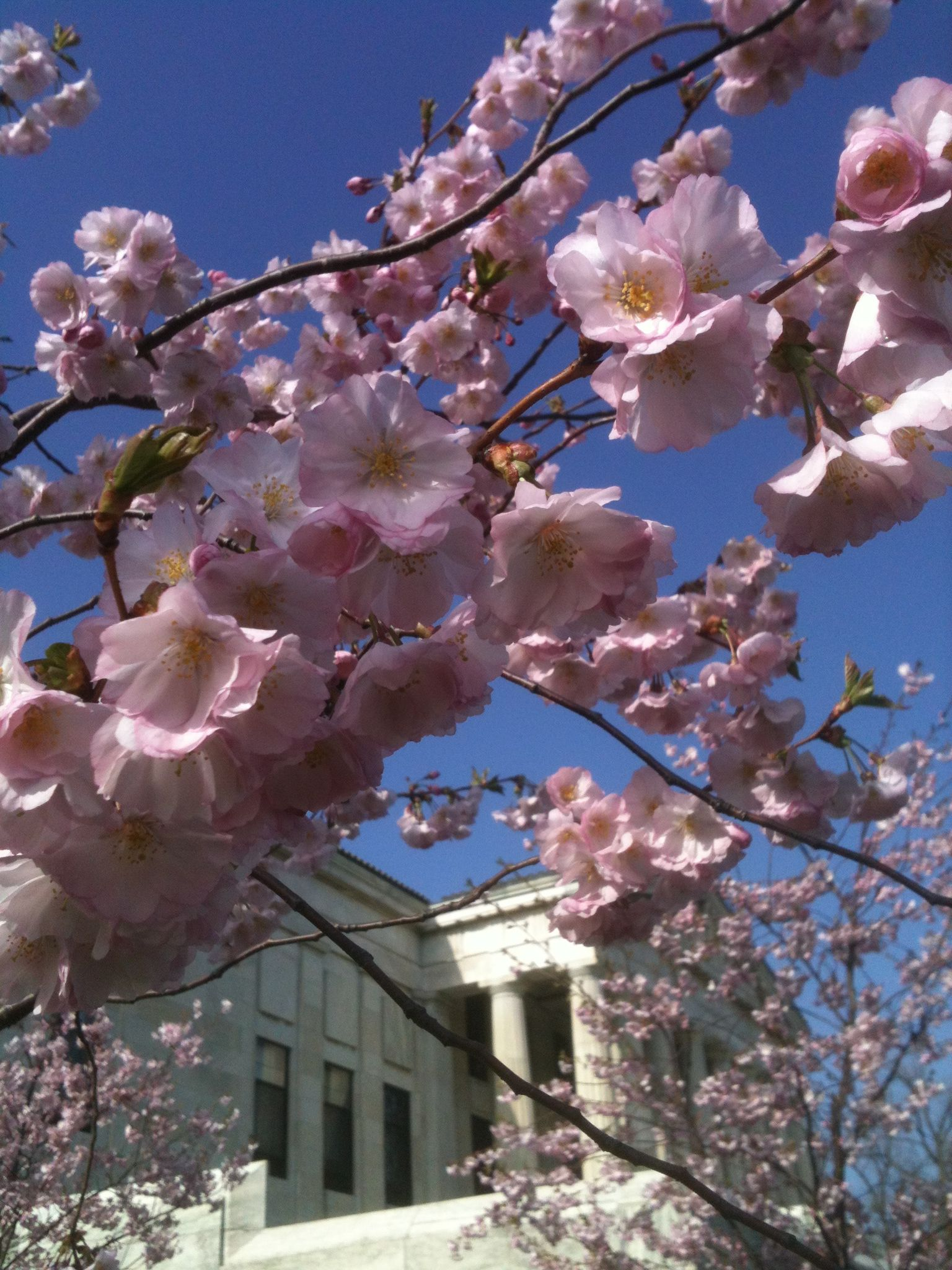 Cherry Blossoms Adorn The Buffalo History Museum In Buffalo Ny Cool Places To Visit Where To Go Picture Postcards