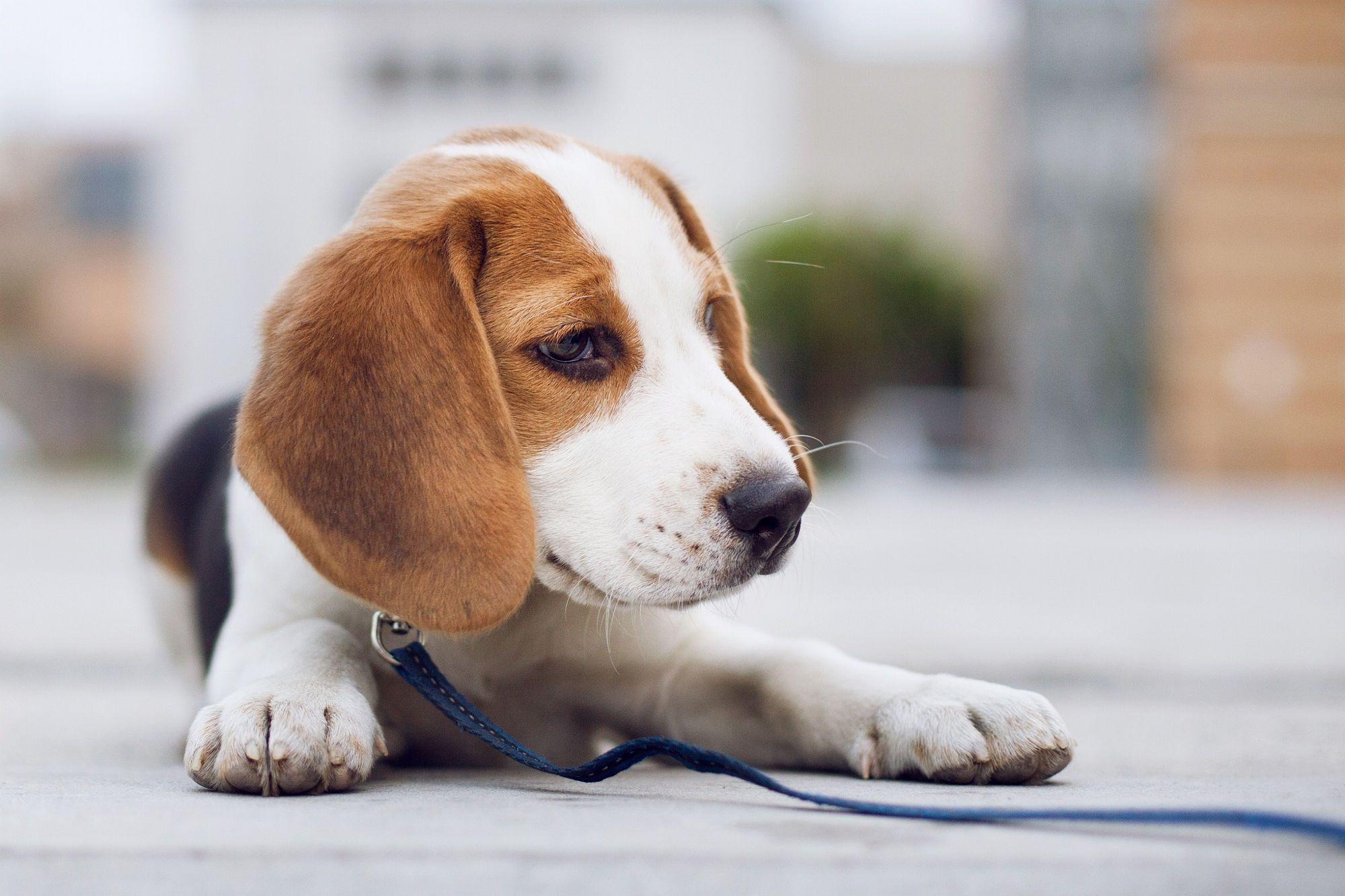 Little Beagle By Lenyfoto Pet Photography On 500px Popular Dog Names Dog Names Girl Dog Names