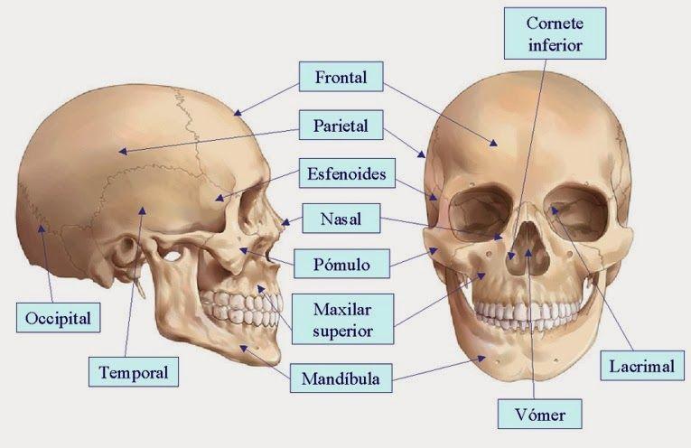 Huesos cráneo (y cara) | Anatomía para el movimiento | Pinterest ...