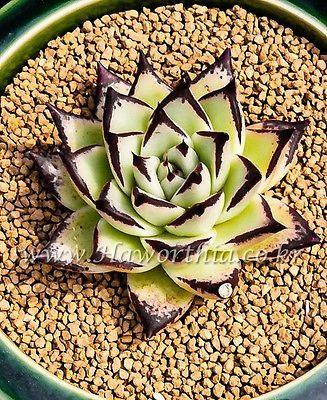 Succulent Echeveria agavoides Red Fire New Rare cactus agave caudex haworthia