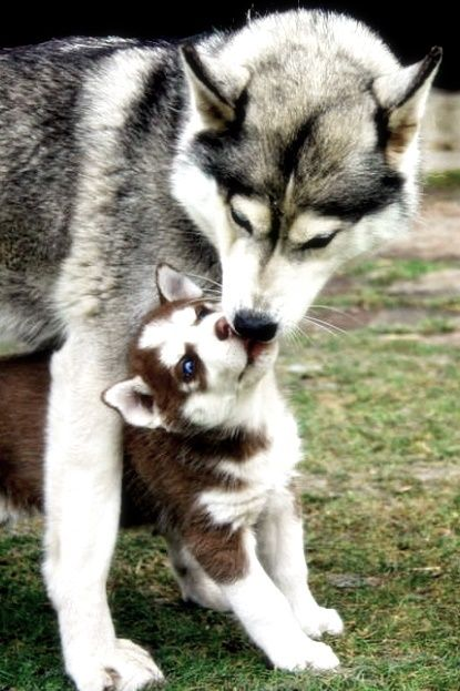 Litter Size Of Siberian Husky With Images Cute Animals