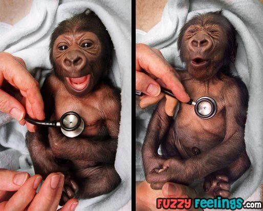 Newborn gorilla at Melbourne Zoo reacting to a cold stethoscope... OMG SO CUTE