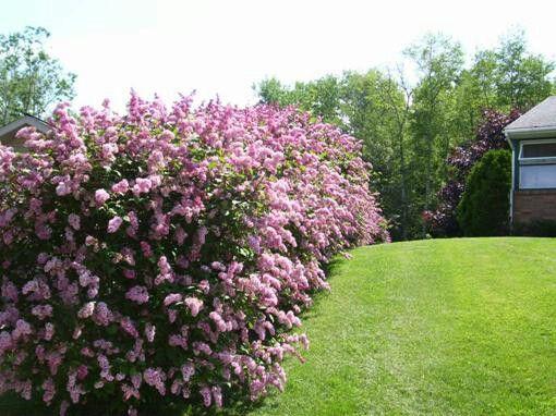 lilac hedge gardening garden