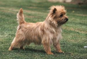 Cairn Terrier Cairn terrier, Cairn terrier puppies, Terrier
