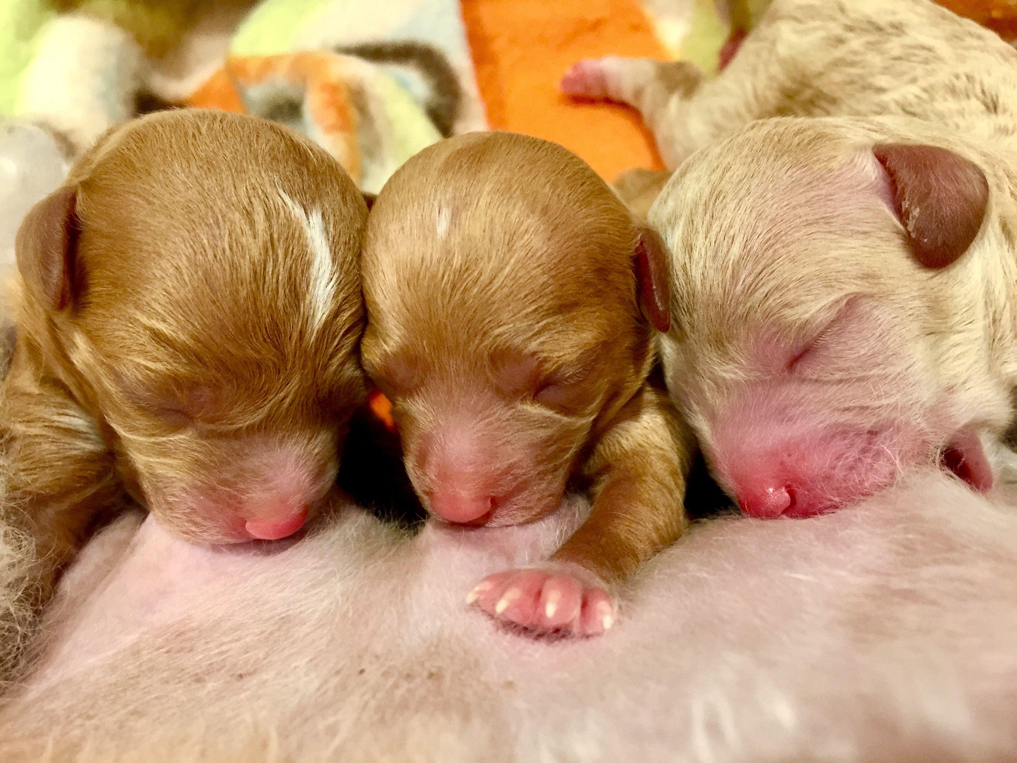 Newborn Poodles Poodle Animals Tea Cup Poodle