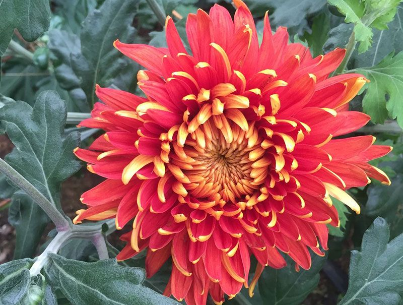Indian Summer Chrysanthemum Chrysanthemum plant