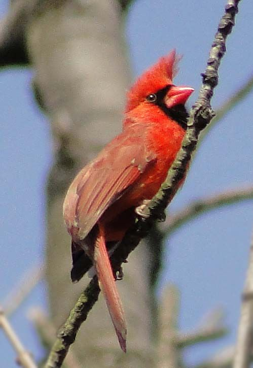 Baby Cardinal Bird   Cardinals   Baby cardinals, Cardinal ...