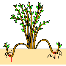 Photo of Vegetative Propagation : Artificial methods like cutting, layering