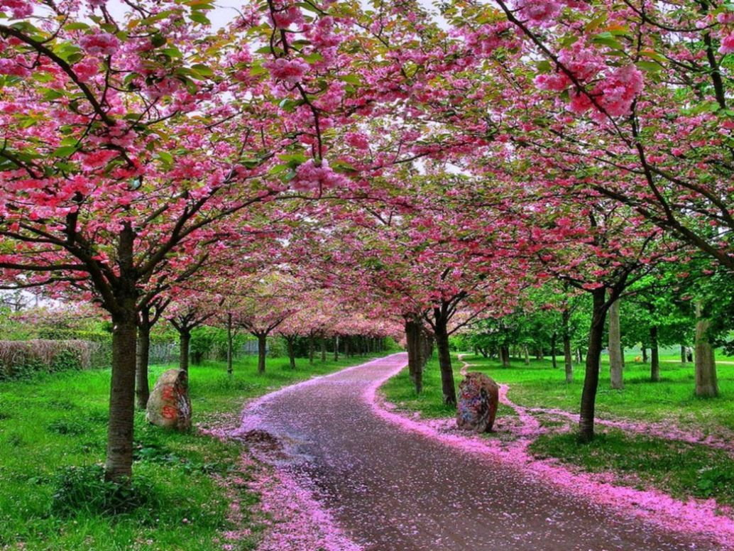 Gambar Bunga Sakura Di Puncak Musim Semi Beautiful Gardens Beautiful Tree Beautiful Nature