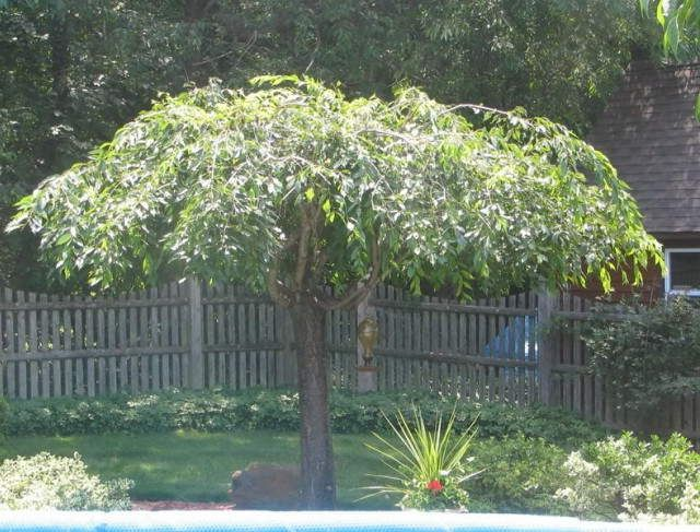 weeping cherry tree nz - Google Search