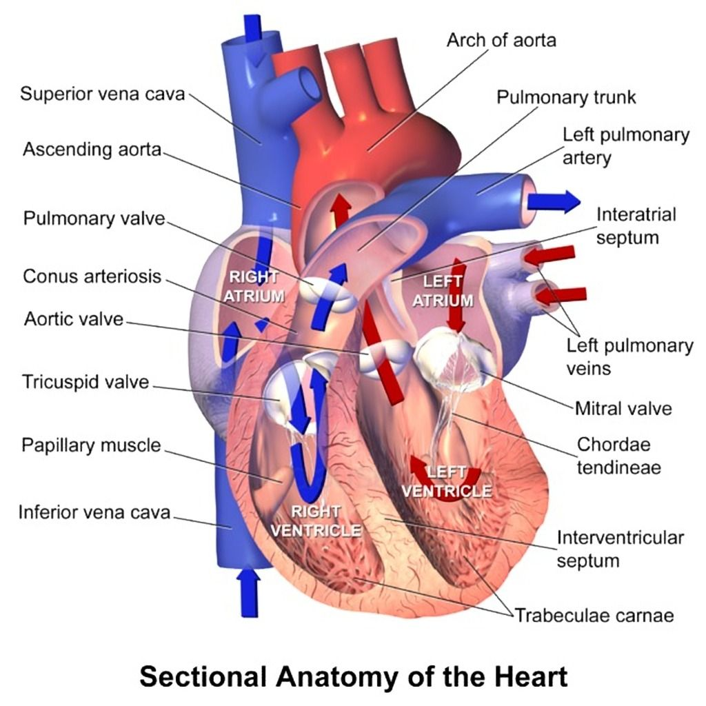 Sectional cardiac anatomy (creative commons illustration ...