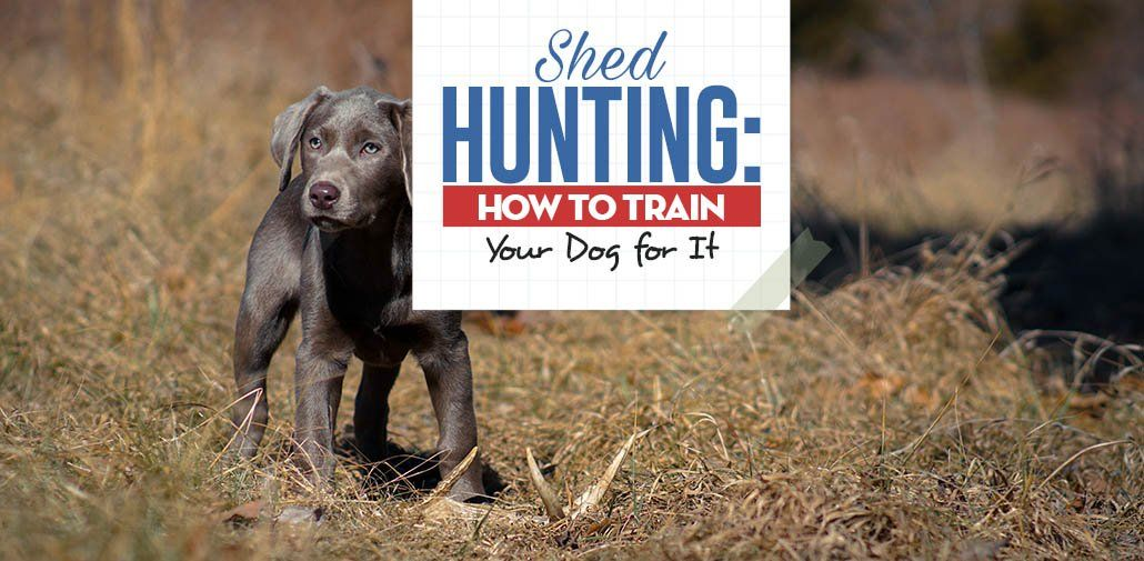 How To Teach Your Dog Shed Hunting Dog Training Best Dog