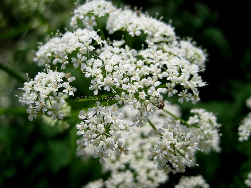 Little white flower bush beyond zephyr flowers pinterest flower flower little white flower bush mightylinksfo Images