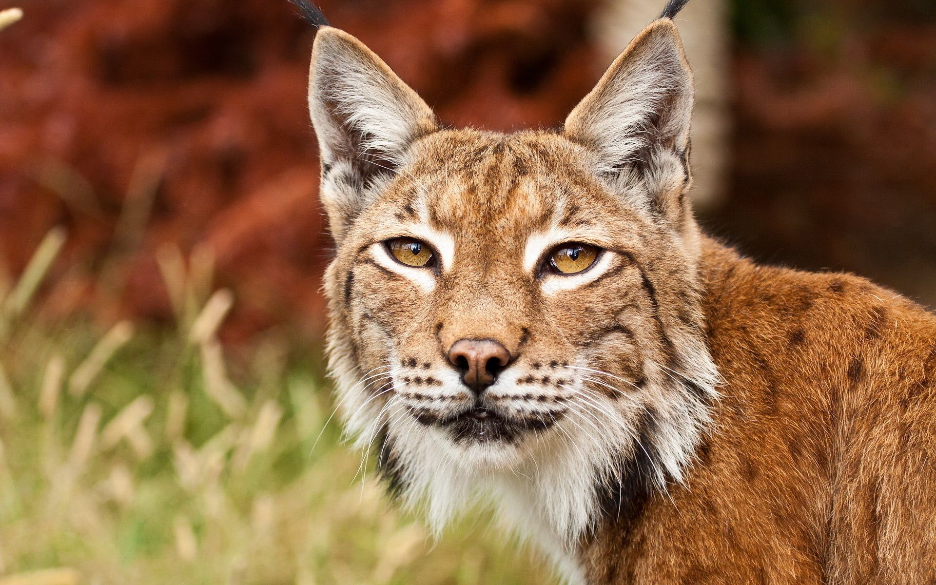 bobcat | big/wild cats | Animals, Windows wallpaper, Wallpaper