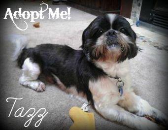 Tazz 3 Year Old Male Shih Tzu Mix Adoption Fee 200 Dog Adoption Puppies Shih Tzu