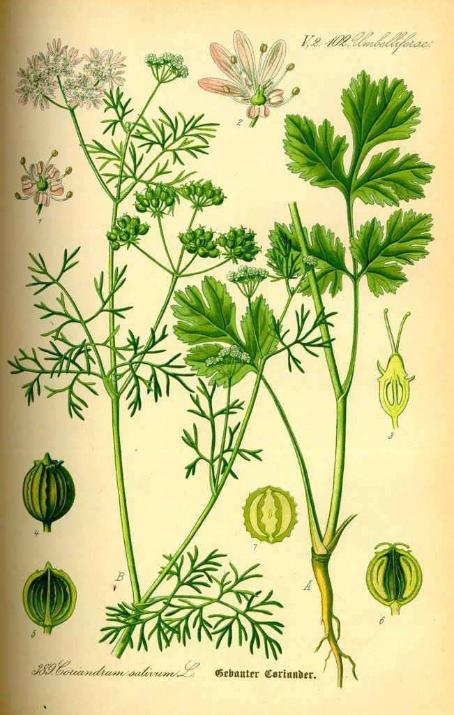 cilantro coriandrum sativum in 2019 essential oils. Black Bedroom Furniture Sets. Home Design Ideas