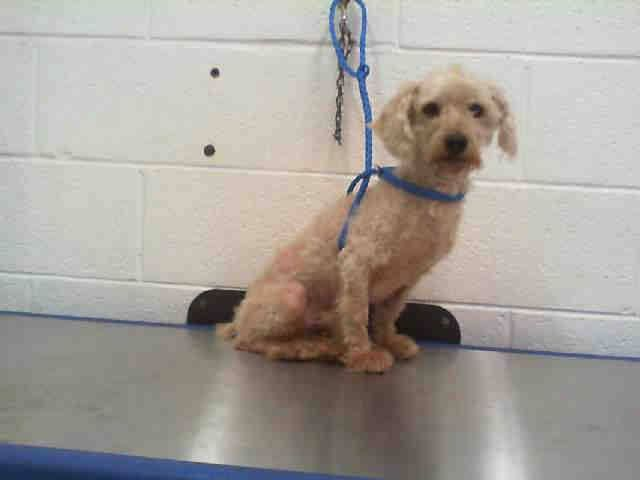 DOODLE (A1654984) I am a male cream Poodle - Miniature and Maltese.  The shelter staff think I am about 5 years old.  I was found as a stray and I may be available for adoption on 10/31/2014. — hier: Miami Dade County Animal Services. https://www.facebook.com/urgentdogsofmiami/photos/pb.191859757515102.-2207520000.1414452851./862448420456229/?type=3&theater