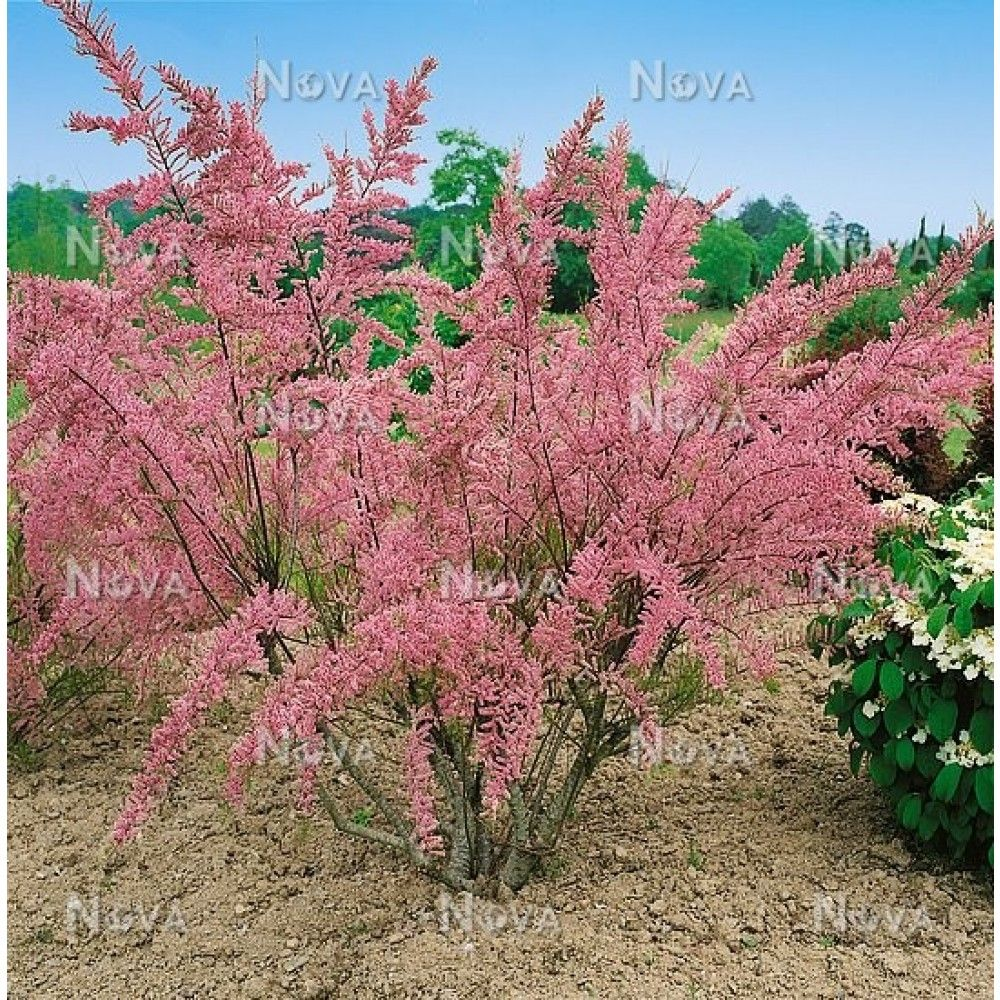 Tamarix Tetrandra Are Deciduous Shrubs Or Small Trees Of Feathery