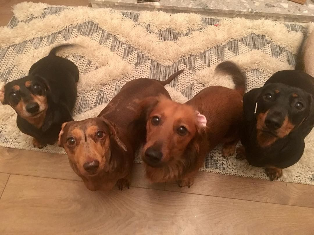 Pin By Doxaholics Anonymous On Dachshund Miniature Dachshunds