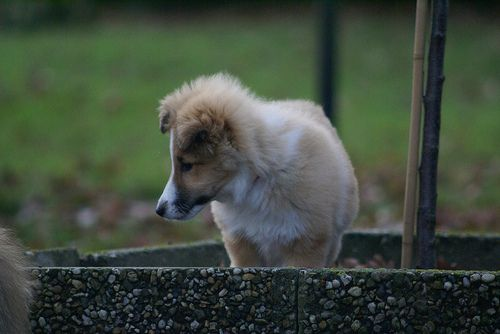 Sheltie: Young Sienna