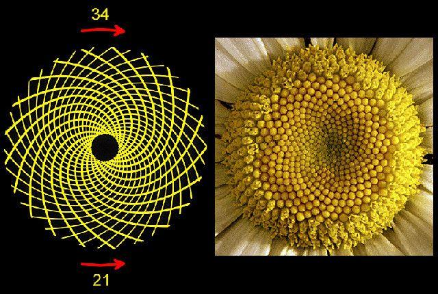 15 Uncanny Examples Of The Golden Ratio In Nature Fibonacci