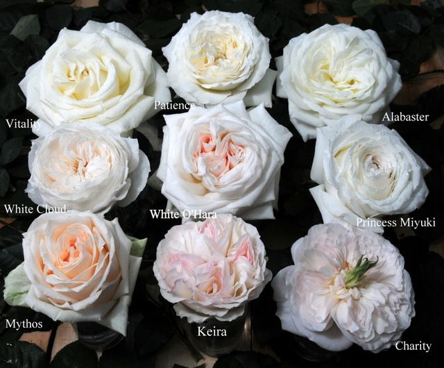 White And Pink Garden Roses Can Be In Place Of Peonies Like Peonies Garden Roses Are Available In A Var Wedding Flowers Peonies Rose Varieties Peonies Garden
