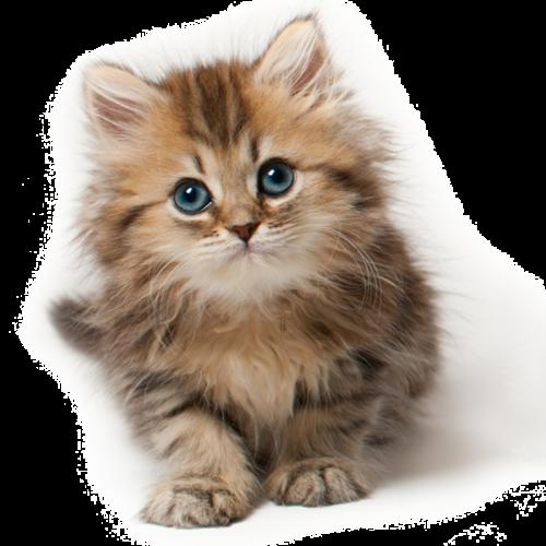 Free Png Downloads Konfest Persian Kittens Persian Kittens
