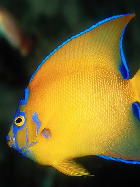 Queen Angelfish The Queen Angelfish Holacanthus Ciliaris Is An Angelfish Commonly Found Near Reefs In The Warmer Sec Angel Fish Water Animals Ocean Creatures