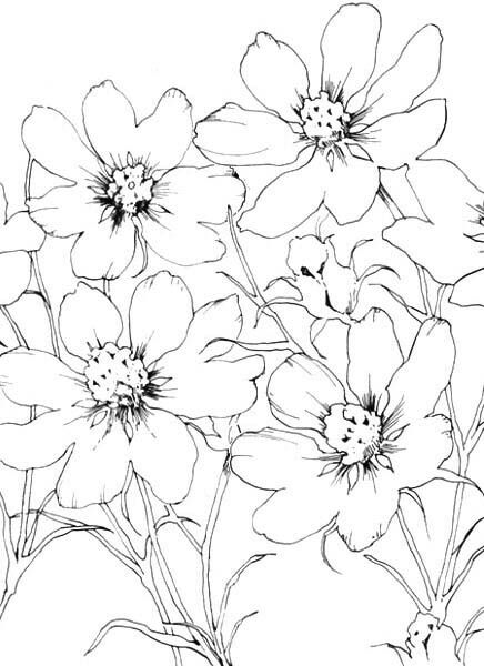 Cosmo Outline Wildflower Drawing Flower Line Drawings Flower Sketches