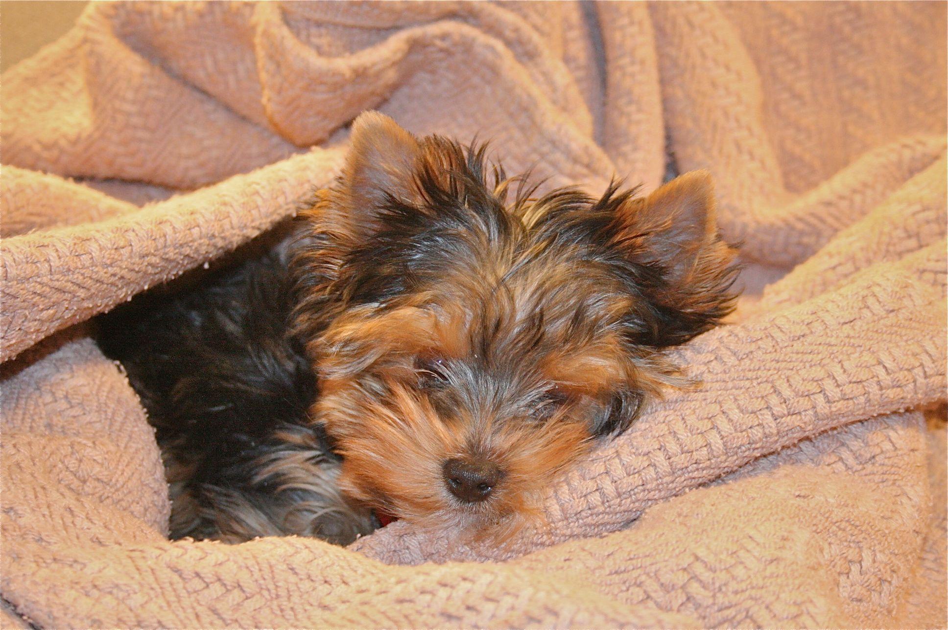 How Precious Yorkie Breeders Dog Breeder Yorkie