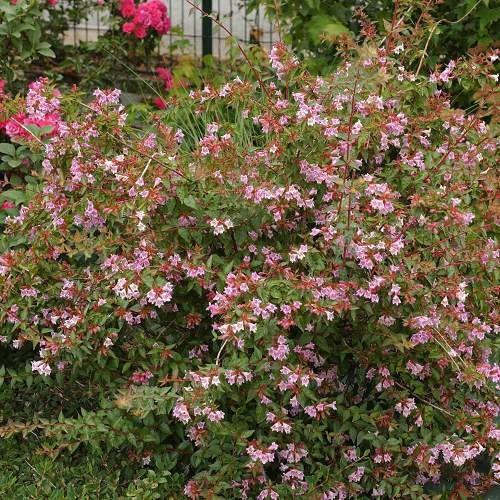Westbury Gardens Rose Garden: Abélie, ABELIA 'EDWARD GOUCHER'