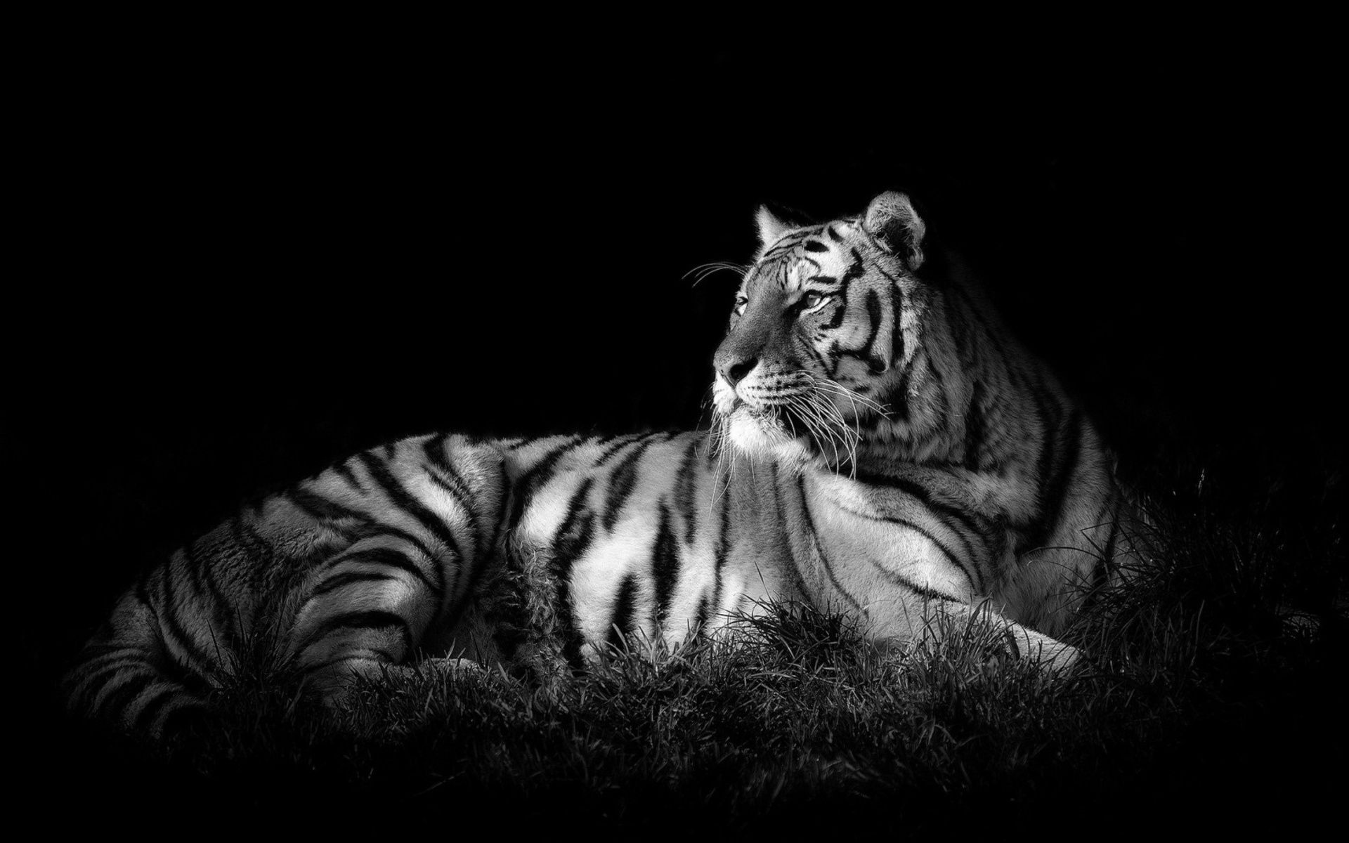 Royal bengal tiger is a great wallpaper for your computer desktop and - Tiger Black White Cats Wallpaper Id 1683309 Desktop Nexus Animals