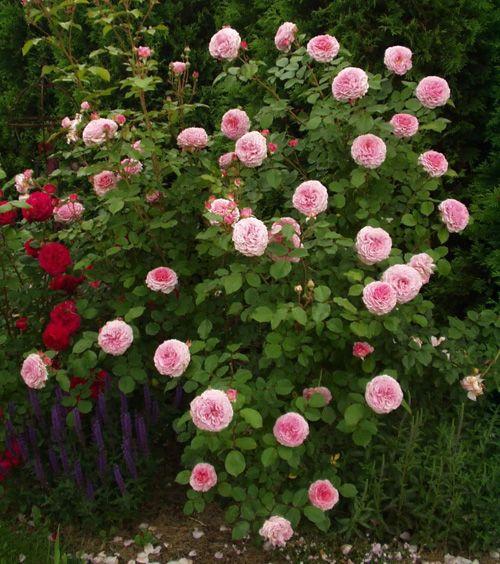 james galway 1924 500 564 pixels roses pinterest. Black Bedroom Furniture Sets. Home Design Ideas