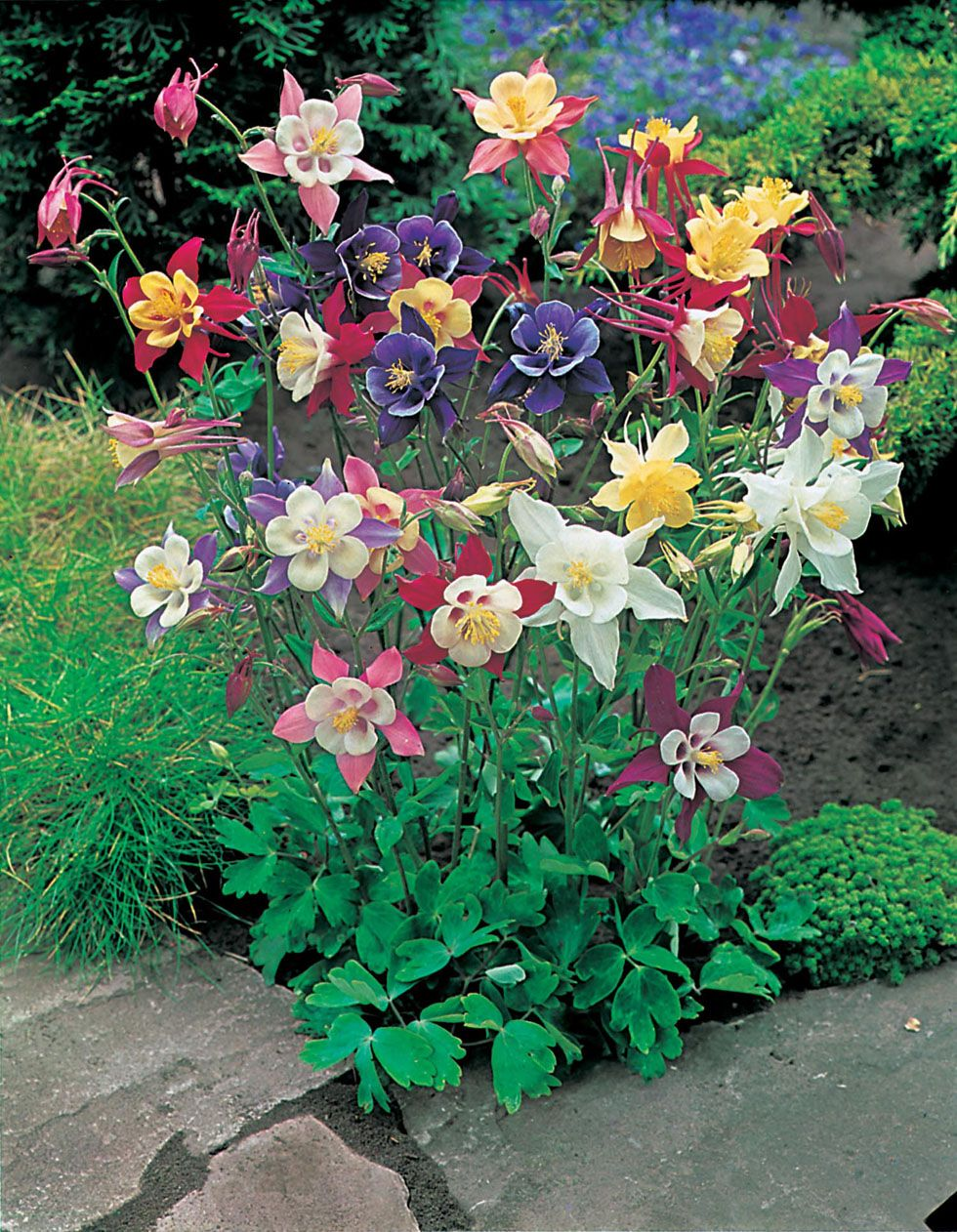 columbine aquilegia mckana giant 2 39 tall and 1 39 wide blooms may july bed 1 house border. Black Bedroom Furniture Sets. Home Design Ideas